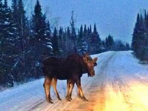 Double Moose