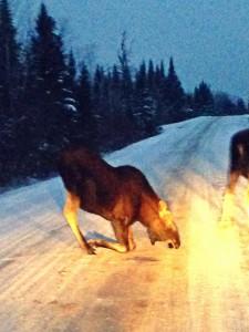 Kneeling moose