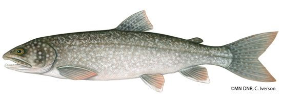 Click for more lake trout information from the MN DNR.