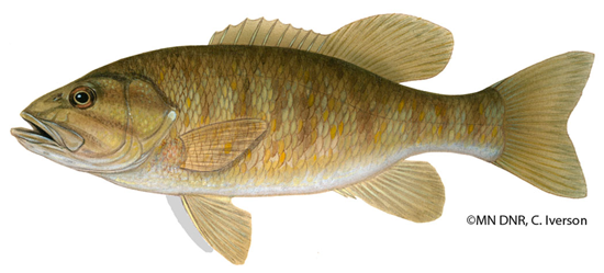 Click for more smallmouth bas information from the MN DNR.