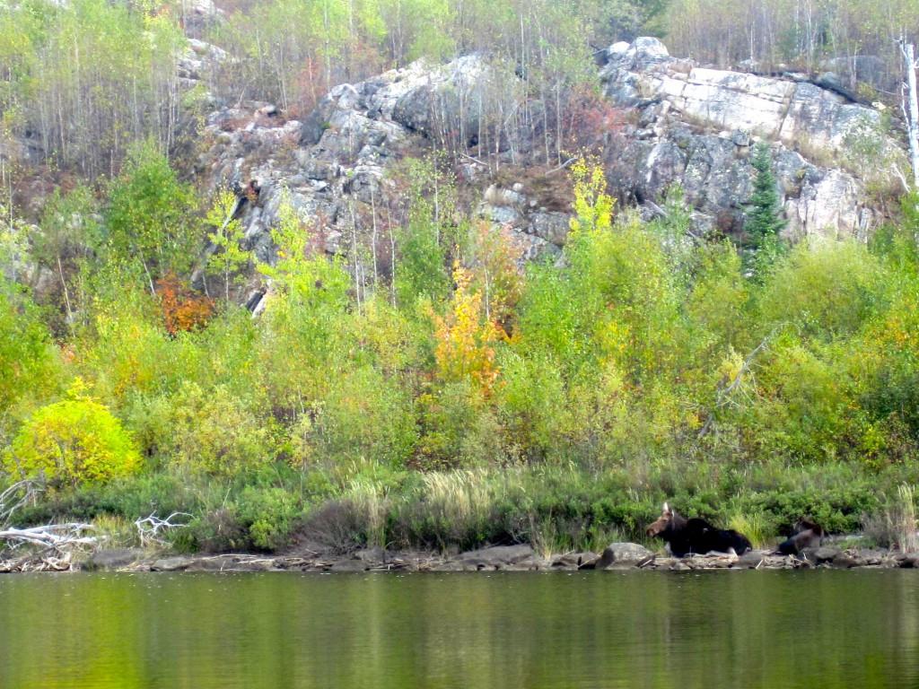 Boundary Waters moose Saganaga Lake