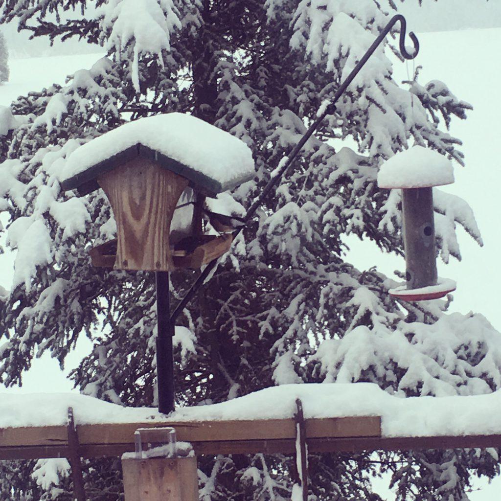 Chickadee songbird at the bird feeders