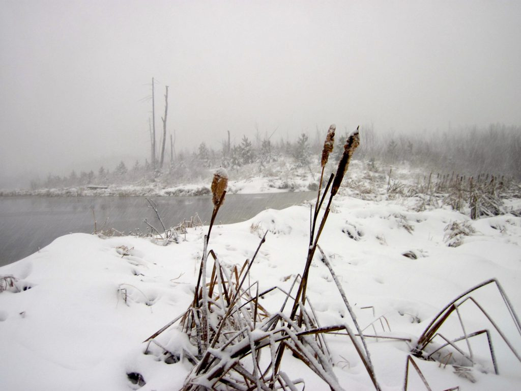 Cattails in the snow off the Gunflint Trail